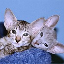 Photo of oriental-shorthair