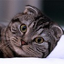 Photo of scottish-fold