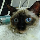 Photo of siamese