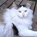 Photo of turkish-angora