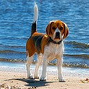 Photo of beagle