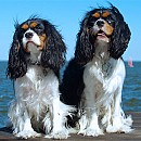 Photo of cavalier-king-charles-spaniel