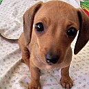 Photo of chiweenie