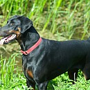 Photo of doberman-pinscher