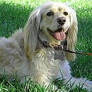Photo of golden-cocker-retriever