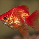 Photo of fancy-goldfish