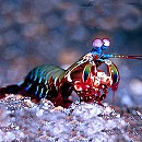 Photo of mantis-shrimp