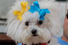 Girl Dog w Bows