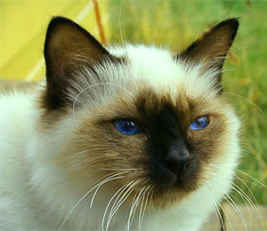Birman The Sacred Cat of Burma