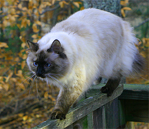 The Beautiful Himalayan Cat