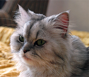 The Reserved Persian Cat