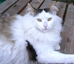 Turkish Angora Info and Facts
