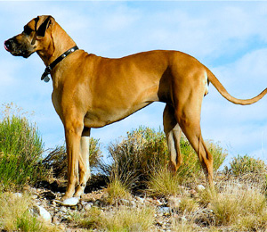 Great Danes If Dogs Were Horses