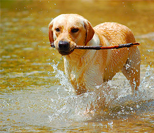 Labrador Retrievers a Family Dog