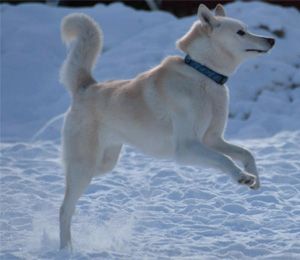 Siberian Husky Fact and More