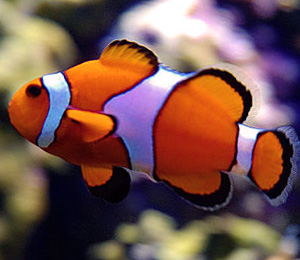 Clownfish Facts and Data