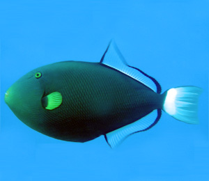 Triggerfish Info and Facts
